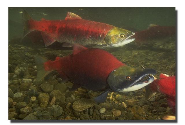 Kokanee salmon related keywords kokanee salmon long tail for Salmon fishing colorado