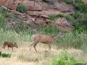 camp-out-colorado-carter-lake-deer-doe