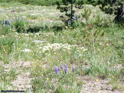 campoutcolorado-meadows-campground-rabbit-ears-flowers