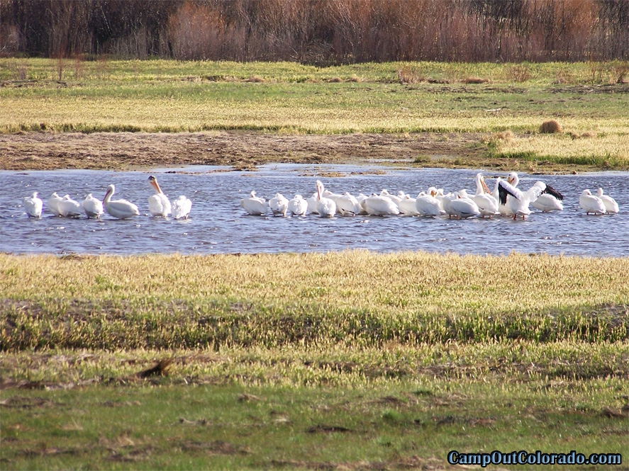 camp-out-colorado-tarryall-reservoir-campground-pelicans