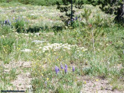 campoutcolorado-meadows-campground-rabbit-ears-flowers