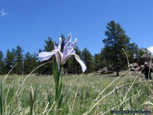 meadow-flower
