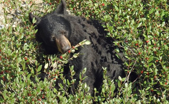 black-bear-eating-berries